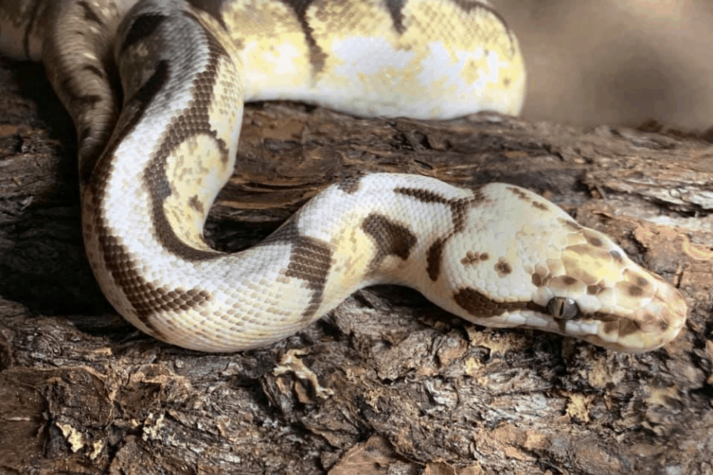 how to sex a ball python without probing