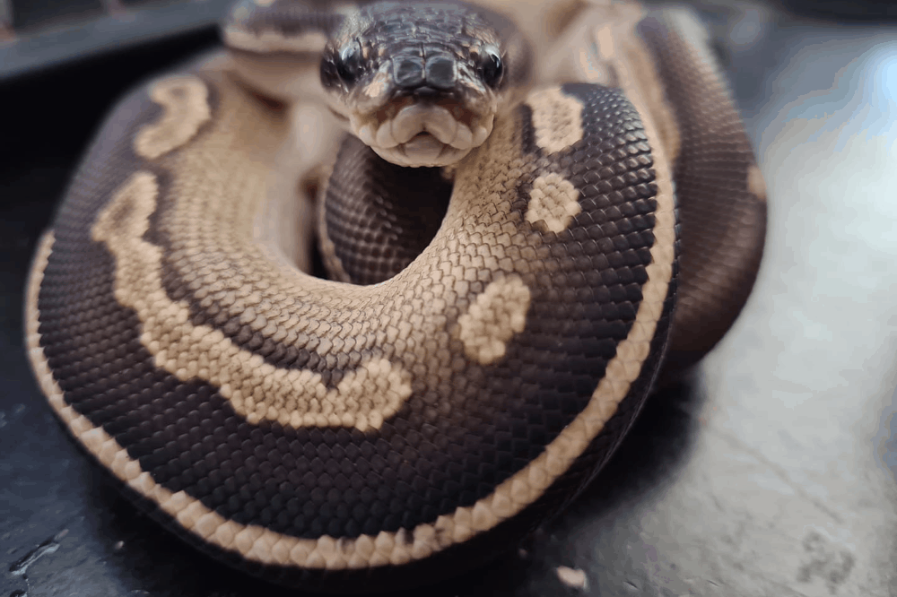how to tell how old a ball python is