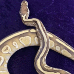 what is a lesser ball python
