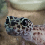 how to incubate leopard gecko eggs without an incubator