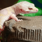how to make a moist hide for a leopard gecko