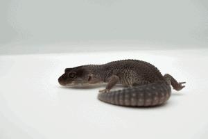 best leopard gecko morphs