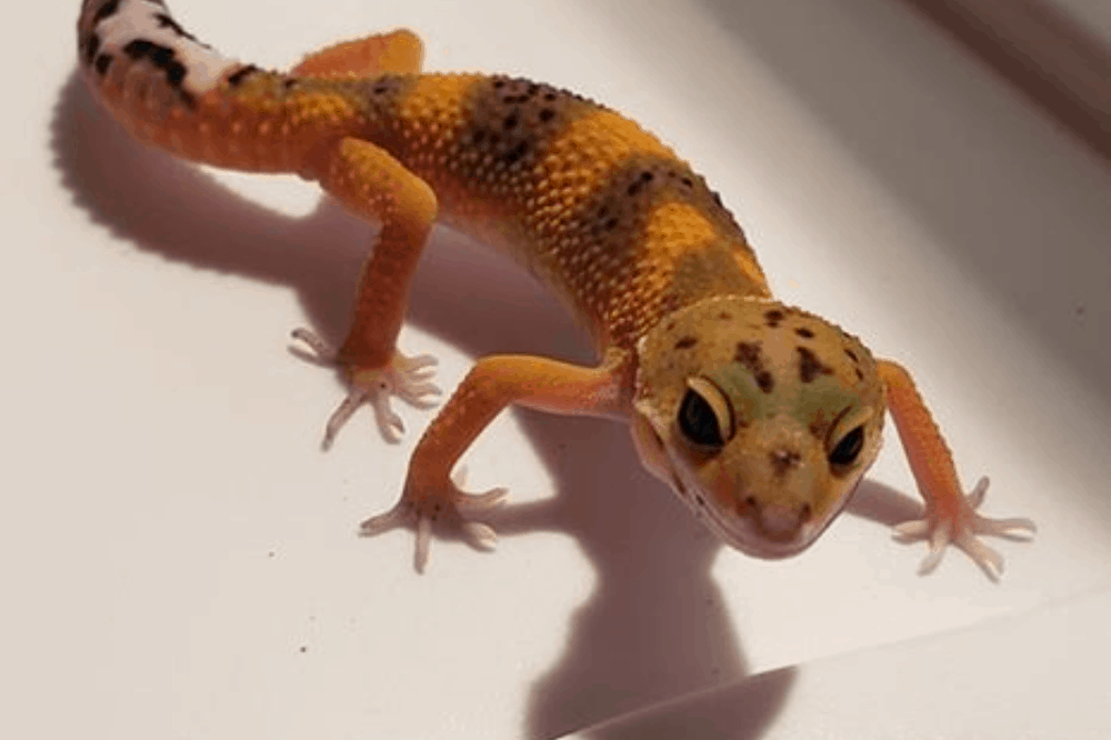 how to tell what morph your leopard gecko is