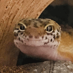 how much to feed leopard gecko