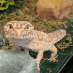best leopard gecko starter kit