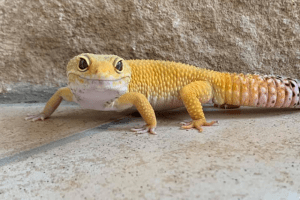 how to tell if a leopard gecko is stressed