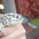 why is my leopard gecko pale