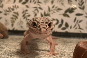 what is the lifespan of a leopard gecko