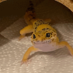 why does my leopard gecko stare at me