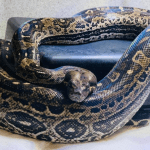 how much does a boa constrictor weigh