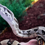 how much does it cost to own a boa constrictor