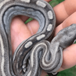 how to care for a boa constrictor