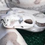 best ceramic heat emitter for boa constrictor