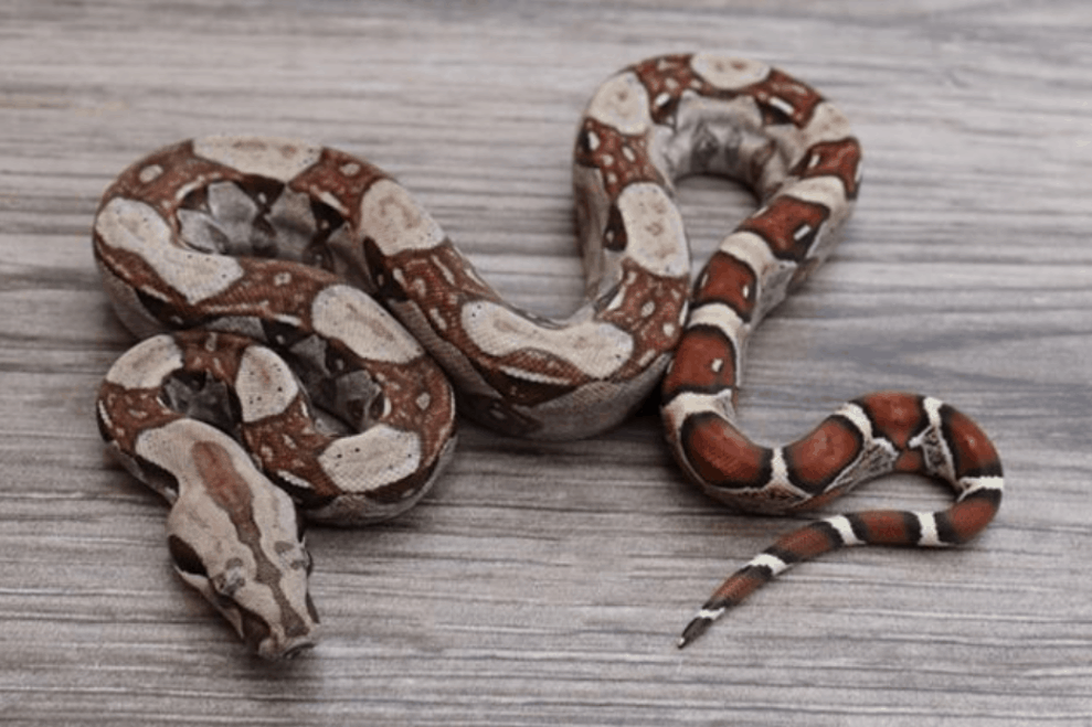 what to do if attacked by boa constrictor