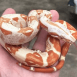 what size enclosure for a boa constrictor
