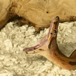how to treat boa constrictor mouth rot