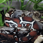 how to bathe a boa constrictor