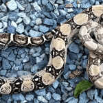 what eats a boa constrictor
