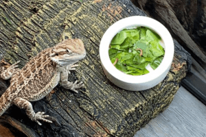 how long can lizards go without water and eating