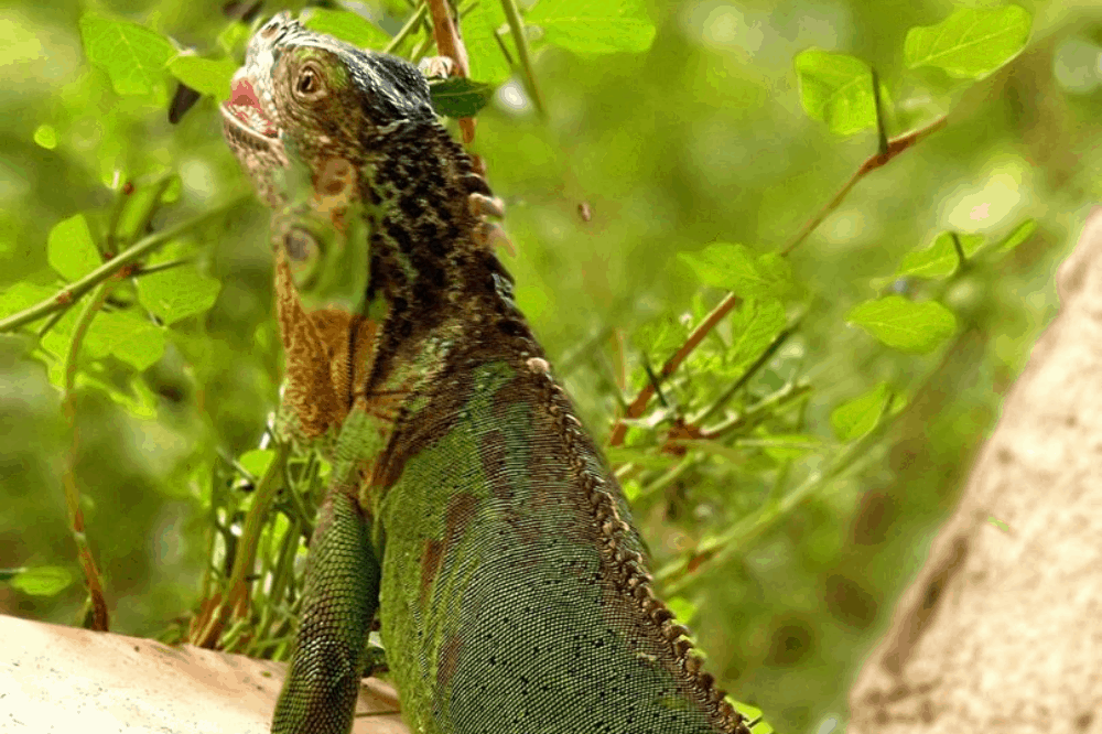 best iguana names