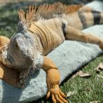 how do lizards reproduce