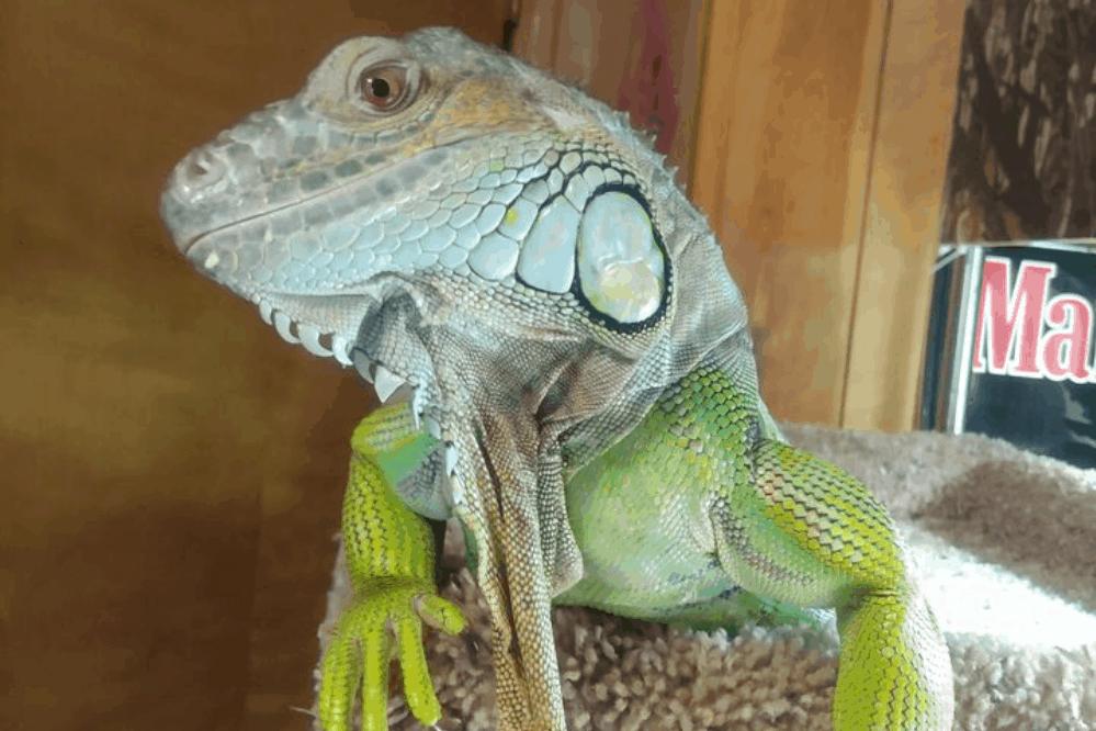 how long do lizards live