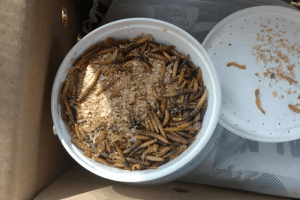 how to raise mealworms for lizards