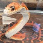 best corn snake names