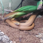 how to treat mouth rot in snakes
