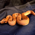 best boa constrictor names