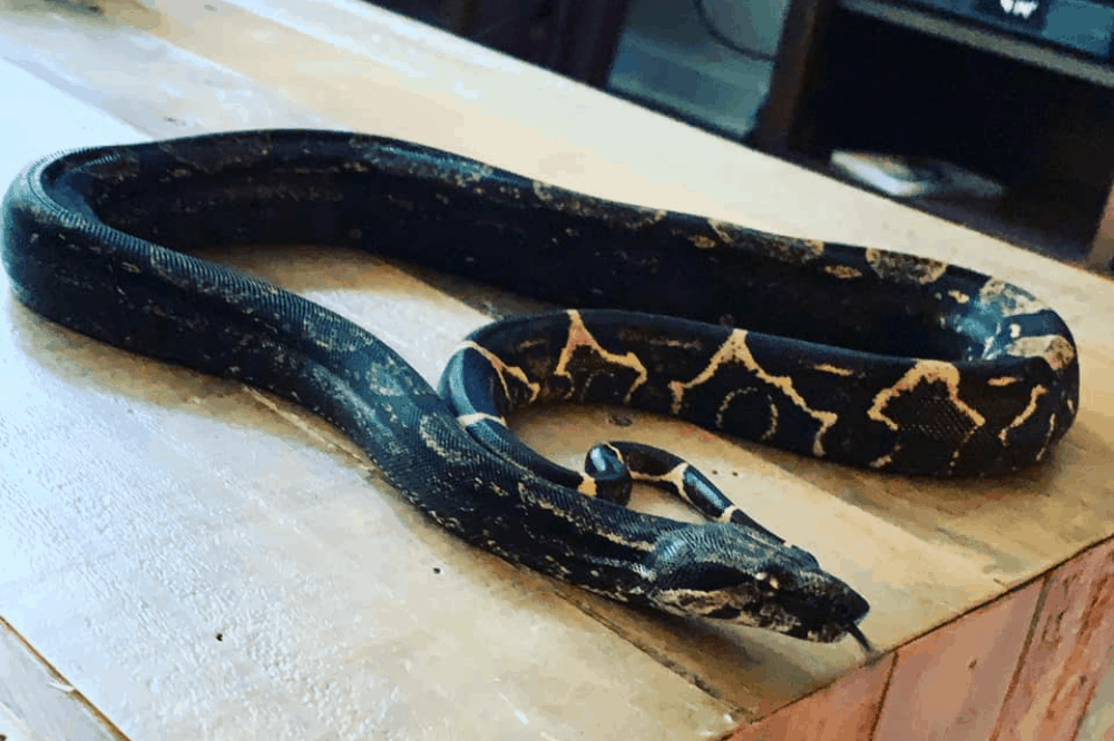How To Keep A Boa Constrictor Humid