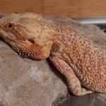 why do lizards do push ups
