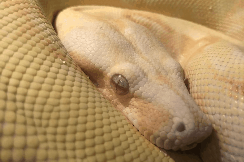 how can you tell if a boa constrictor is dehydrated