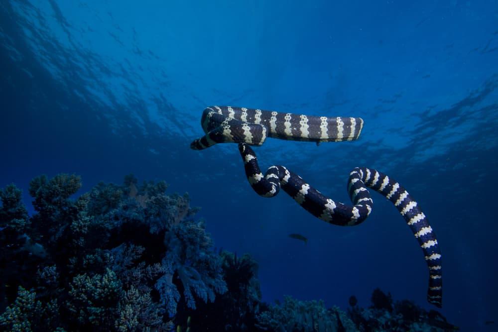 banded sea snake underwater in the ocean
