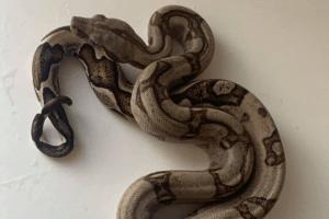 what temperature will kill a boa constrictor