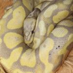 when do snakes go into hibernation