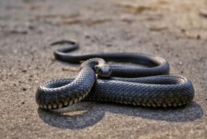 what do snakes eat in the desert