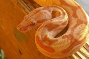 how do snakes climb snakes