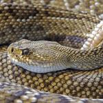 how do snakes create venom