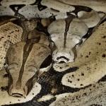 how do snakes reproduce