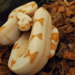 what snakes have live babies
