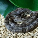 how do snakes breathe