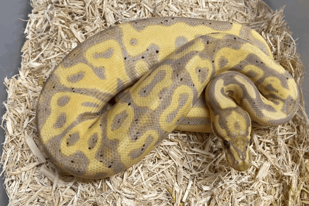 how to ship snakes