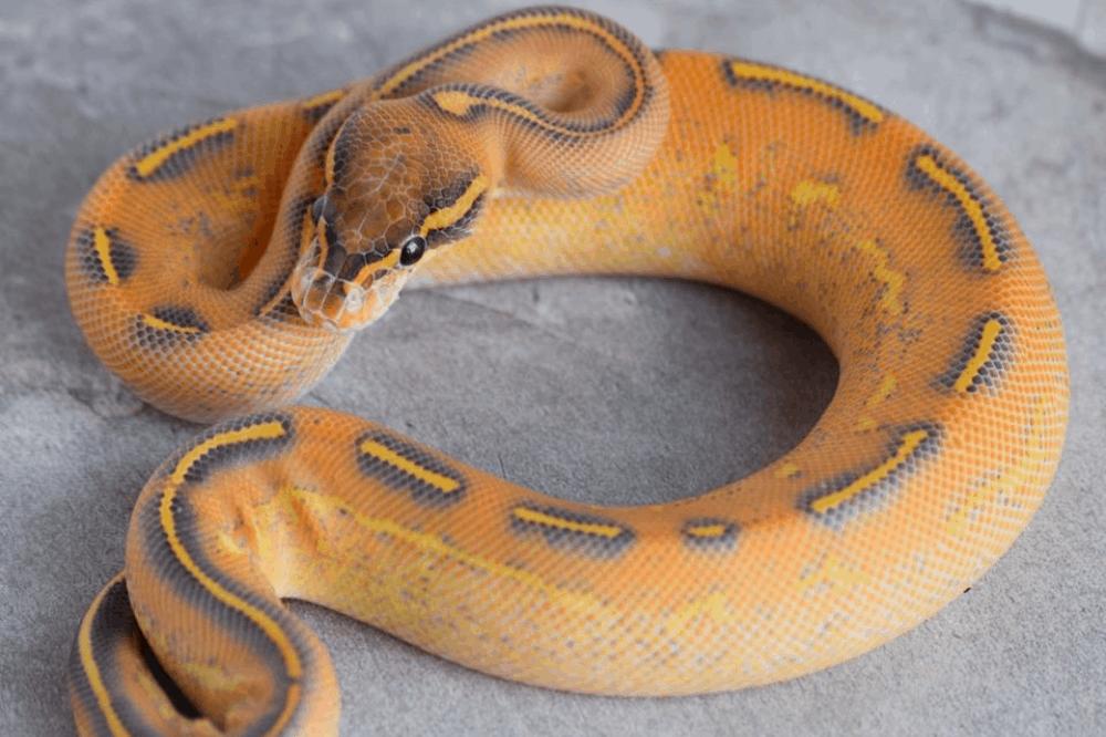 how do snakes sleep