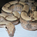 how fast can boa constrictors move