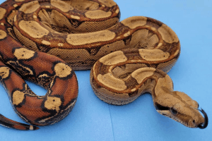 beginner boa constrictor owners and what to expect