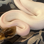 how do you thaw frozen mice for snakes