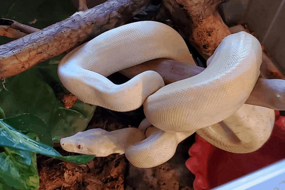 why do snakes regurgitate