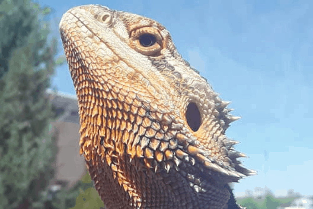 why do lizards have scales