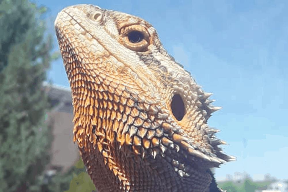 pourquoi les lézards ont-ils des écailles